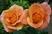růže 58