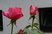 růže 59