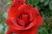 růže 60