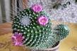 kvete mi kaktus