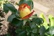 růže 37