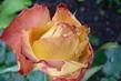 růže 41