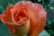 růže 20