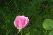 Růže něžná růžová
