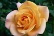 Růže 47