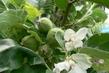 Jabloň zároveň kvete a má jablíčka