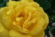 růže 48