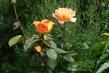 růže 51