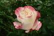 růže 53