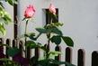 růže 54