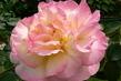 růže 55