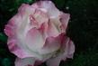 růže 63
