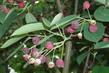 borůvkový strom 2