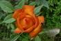 růžička do oranžova
