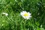 Sedmikráska v trávě