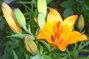 první lilie,