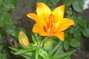 první lilie,,