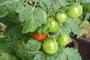 letošní první červené balkonové rajče