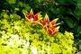 tulipány rozkvetlé
