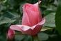 růže 56