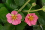květ jahody