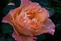 růže 62