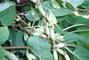 kiwi letní - za měsíc budu sklízet