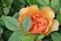oranžová růžička.