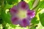 fetail květu plazivce