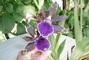 tatínkova orchidea,