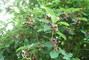 borůvkový strom