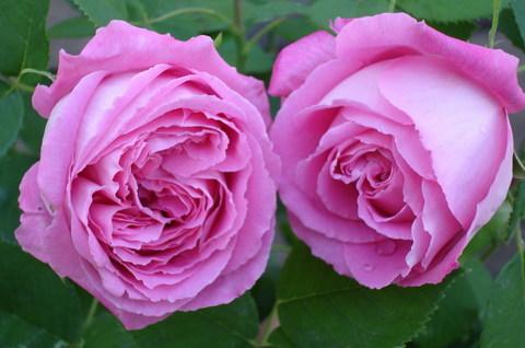 FOTKA - Růžové růže