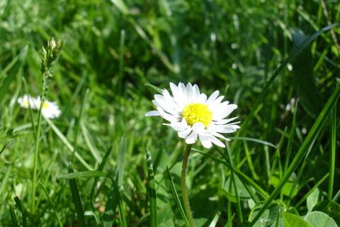 FOTKA - Sedmikráska v trávě