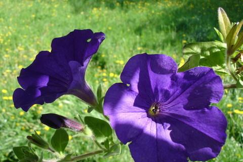 FOTKA - Květy Surfinie