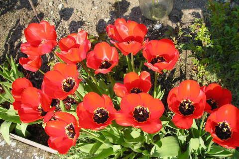 FOTKA - tulipány-jarní vzpomínka