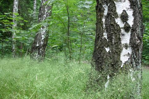 FOTKA - Břízy a lesní tráva