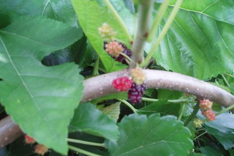 FOTKA - moruše - plody