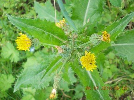 FOTKA - červenec - 2 - 8 - květy na bodláku