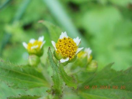 FOTKA - červenec - 2 - 9 - plevelní kvítečka