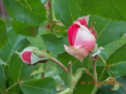 FOTKA - červenec - 2 - 17 - moje růžové lásky