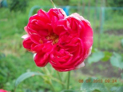 FOTKA - červenec - 2 - 23 - miluji poupata růží