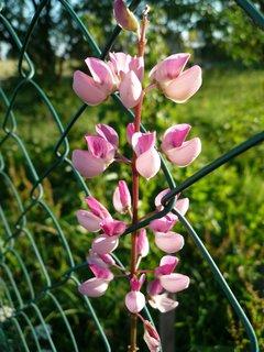 FOTKA - kytičky u plotu