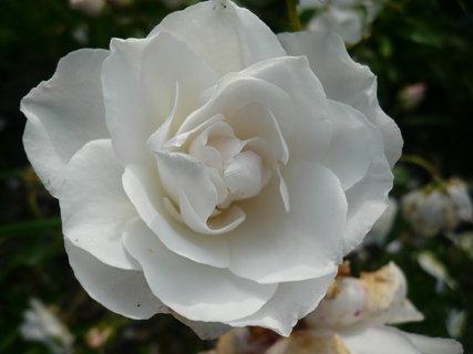 FOTKA - růže.