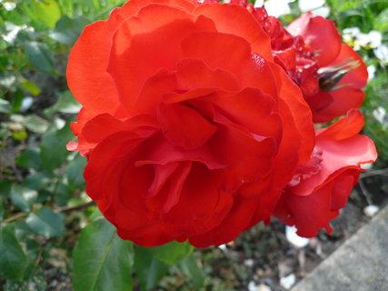 FOTKA - růže..