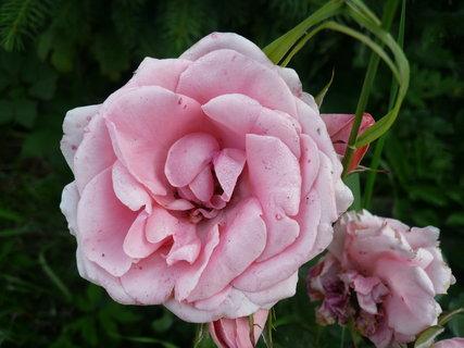 FOTKA - růže....