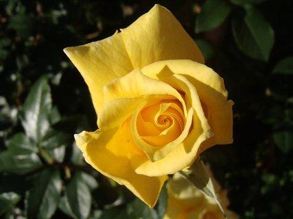 FOTKA - žltá sa rozvíja tiež