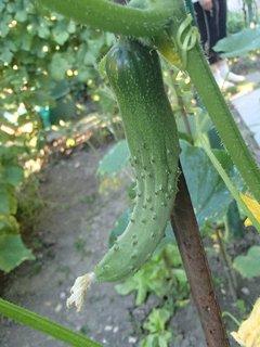 FOTKA - vykrútená uhorka