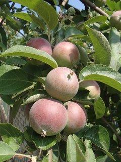 FOTKA - jabĺčka pri plote