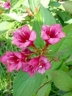 FOTKA - 11.července - 6 - Wiegela už končí s květama