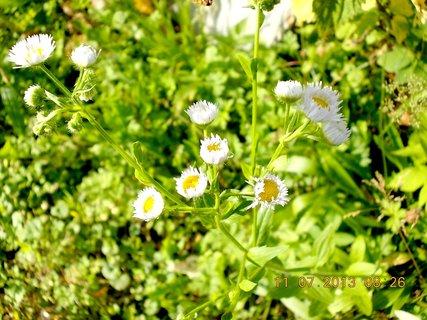FOTKA - 11.července - 10 - plevelní kvítka